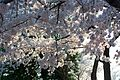 Cherry blossoms 0002 - Washington DC - 2014-04-10 (13772829134).jpg