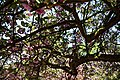 Cherry tree blossom City of London Cemetery 2.jpg