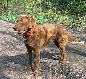 Chesapeakebayretriever01-l.jpg