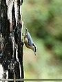 Chestnut-bellied Nuthatch (Sitta cinnamoventris) (37716591066).jpg