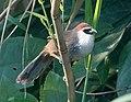 Chestnut-capped-Babbler (8713230888).jpg