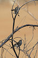 Chestnut-rumped Thornbills.jpg