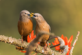 Chestnut-tailed starling.png