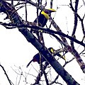 Chestnut mandibled toucan (Yellow throated toucan) (25827724087).jpg