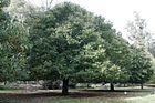 Chestnut tree.jpg