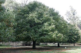 Nausea (novel) - Chestnut tree: Castanea sativa