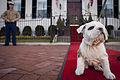 Chesty, the future U.S. Marine Corps mascot, sits on the red carpet in front of the Home of the Commandants during a visit to Marine Barracks in Washington, D.C. 130214-M-RT059-006.jpg