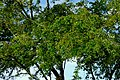 Chiminango (Pithecellobium dulce) (14700824864).jpg
