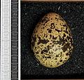 Chlidonias leucopterus MWNH 0405.JPG