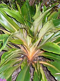 Chlorophytum orchidastrum2100321875