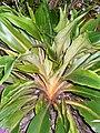 Chlorophytum orchidastrum2100321875.jpg