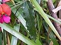 Chorizema ilicifolium (flowers) near Walpole, Western Australia.JPG