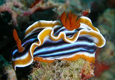 Chromodoris quadricolor.jpg