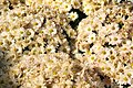 Chrysanthemum Camille 1zz.jpg