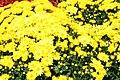Chrysanthemum Sunny Tasha 1zz.jpg