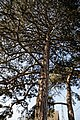 Churchyard conifer at Stapleford Tawney, Essex, England.jpg
