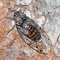 Cigale cicada I (2734143705).jpg