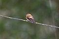 Cinnamon Flycatcher (Pyrrhomyias cinnamomeus) (4856971162).jpg