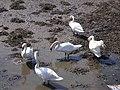 Cisnes no Burgo.jpg
