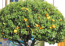 Citrus sinensis - -1- - Orange tree in Southern France.png