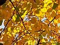 Cladrastis kentukea Strączyn żółty 2017-10-15 04.jpg