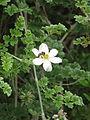 Clematis phlebantha (21398798911).jpg