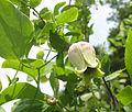 Clematis versicolor.jpg