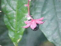 Clerodendrum wallichii0