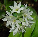 Clintonia udensis in Mount Choshi 2002-06-13.jpg