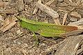 Clip-wing Grasshopper - Metaleptea brevicornis, Prince William Forest Park, Triangle, Virginia (36525409543).jpg
