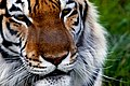 Close Up Tiger (3683740621).jpg
