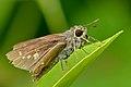 Close wing basking activity of Parnara spp. – Parnara Swift spp. (Himalayan Straight Swift ) WLB DSC 9331.jpg