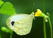 Close wing position of Leptosia nina Fabricius, 1793 – Psyche WLB.jpg