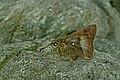 Close wing posture Mudpuddling of Hasora badra (Moore, 1858) – Common Awl (Female) WLB DSC 9148.jpg