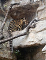 Clouded leopard2.jpg