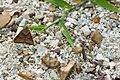 Clover looper moth (25742772336).jpg