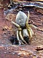 Clubiona spec. (Araneae sp.), Arnhem, the Netherlands - 2.jpg