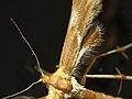 Cnaemidophorus rhododactyla (36088547640).jpg