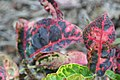 Codiaeum variegatum Tortoise Shell 1zz.jpg