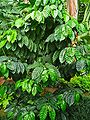 Coffea arabica 001.JPG