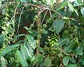 Coffee Plant Robusta.jpg