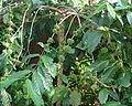 Coffee Plant Robusta.jpg