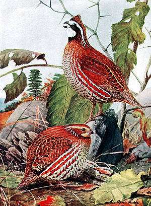 Bobwhite Quail, Colinus virginianus, male (abo...