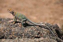 Collared Lizard 2.jpg