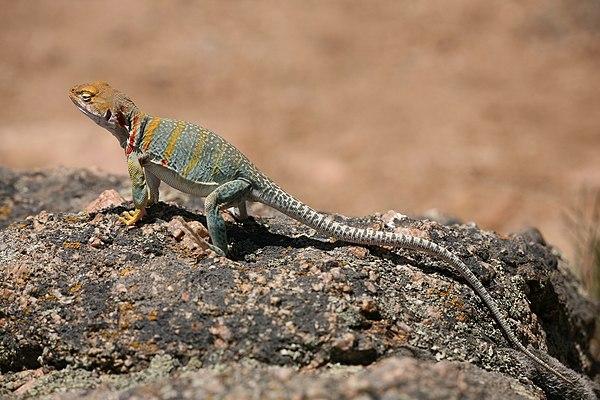 U S Lizard Reptiles of the...