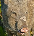Collared Peccary (Pecari tajacu) close-up (31563898186).jpg