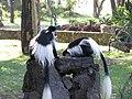 Colobus monkeys (7513452210).jpg