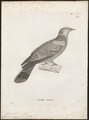 Columba denisea - 1700-1880 - Print - Iconographia Zoologica - Special Collections University of Amsterdam - UBA01 IZ15600337.tif