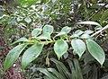 Columnea microphylla 01.jpg