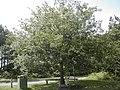 Commemorative oak tree - geograph.org.uk - 845685.jpg